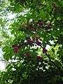 Starr-060306-6603-Syzygium malaccense-flowers-Hana Hwy-Maui (24764759911).jpg