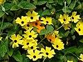 Starr-080716-9356-Thunbergia alata-cv Sundance yellow flowers-Enchanting Gardens of Kula-Maui (24830704521).jpg