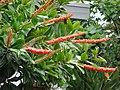 Starr-090421-6248-Norantea guianensis subsp guianensis-flowers-Pukalani-Maui (24834517932).jpg