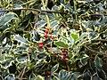 Starr-090514-7861-Ilex aquifolium-variegated leaves and fruit-Kula-Maui (24929026796).jpg