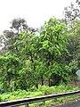 Starr-090618-1103-Syzygium malaccense-flowering habit-Hana Hwy-Maui (24847662642).jpg