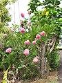 Starr-090623-1679-Lagerstroemia indica-pink flowering habit-Hana-Maui (24336538784).jpg