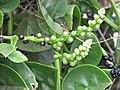 Starr-090806-3815-Basella alba-flowers fruit and leaves-Wailuku-Maui (24675849580).jpg