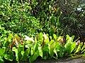 Starr-091104-0656-Philodendron sp-habit-Nahiku-Maui (24961098606).jpg
