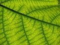 Starr-091104-0761-Broussonetia papyrifera-leaf veins-Kahanu Gardens NTBG Kaeleku Hana-Maui (24869564962).jpg