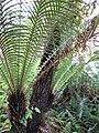 Starr-110307-2707-Blechnum gibbum-habit-Kula Botanical Garden-Maui (25052233726).jpg