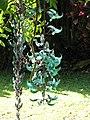 Starr-110330-3827-Strongylodon macrobotrys-flowers-Garden of Eden Keanae-Maui (24450120294).jpg