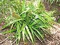 Starr-110411-4951-Dianella sandwicensis-fruiting habit form sandwicensis-Hawea Pl Olinda-Maui (24964361192).jpg