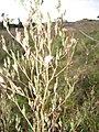 Starr-110601-5994-Lactuca sativa-flowers and seedheads-Kula-Maui (24465801944).jpg
