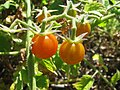 Starr-120513-9497-Solanum lycopersicum-fruit-Waihee Coastal Preserve-Maui (25049499201).jpg