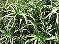 Starr-120522-6224-Aloe arborescens-habit-Iao Tropical Gardens of Maui-Maui (24775651319).jpg