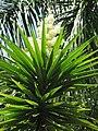 Starr-120522-6291-Yucca elephantipes-flowers-Iao Tropical Gardens of Maui-Maui (25117106836).jpg
