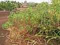 Starr-120620-7573-Manihot esculenta-habit-Kula Agriculture Park-Maui (24519071613).jpg
