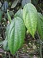 Starr-121108-0687-Piper nigrum-leaves-Pali o Waipio-Maui (25077588052).jpg