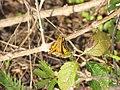 Starr-130321-3597-Lantana camara-flowers with fiery skipper butterfly Hylephila phyleus-Crater Hill Kilauea Pt NWR-Kauai (24582584653).jpg