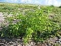 Starr-130915-3356-Solanum americanum-habitat with Masked Boobies-Hardpan SW Inland-Laysan (24858131989).jpg
