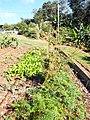 Starr-131216-2780-Daucus carota subsp sativus-seeding habit with lettuce seedlings in vegetable garden-Hawea Pl Olinda-Maui (25135291341).jpg