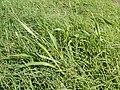 Starr-141025-2428-Setaria verticillata-habit-Kawela Bridge-Molokai (25154529321).jpg
