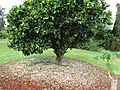 Starr-150301-0362-Citrus sinensis-Washington navel flowering habit-Hawea Pl Olinda-Maui (25238915906).jpg