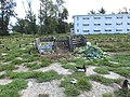 Starr-170615-9200-Brassica oleracea-compost pile-Hydroponics Greenhouse Sand Island-Midway Atoll (36192230372).jpg