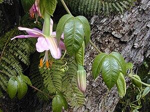 Passiflora tarminiana - Image: Starr 010423 0060 Passiflora tarminiana