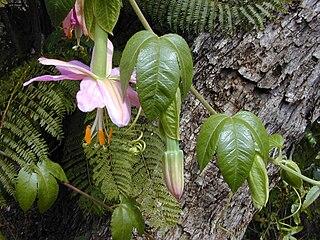 <i>Passiflora tarminiana</i> species of plant