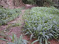 Starr 020803-0130 Setaria palmifolia.jpg