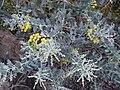 Starr 020911-0001 Acacia podalyriifolia.jpg