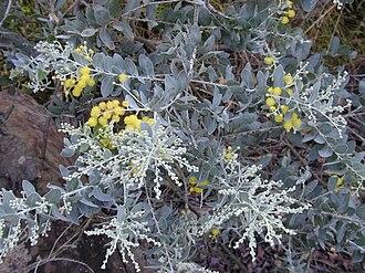 Acacia podalyriifolia - Acacia podalyriifolia foliage