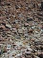 Starr 021114-0109 Vulpia bromoides.jpg