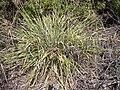Starr 030625-0008 Cyperus javanicus.jpg