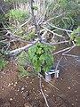 Starr 030828-0103 Hibiscus brackenridgei subsp. brackenridgei.jpg