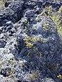 Starr 031001-0125 Vaccinium reticulatum.jpg