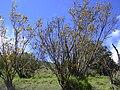 Starr 040131-0109 Sophora chrysophylla.jpg