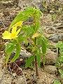 Starr 050519-1726 Turnera ulmifolia.jpg