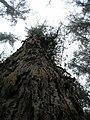 Starr 051123-5471 Eucalyptus globulus.jpg