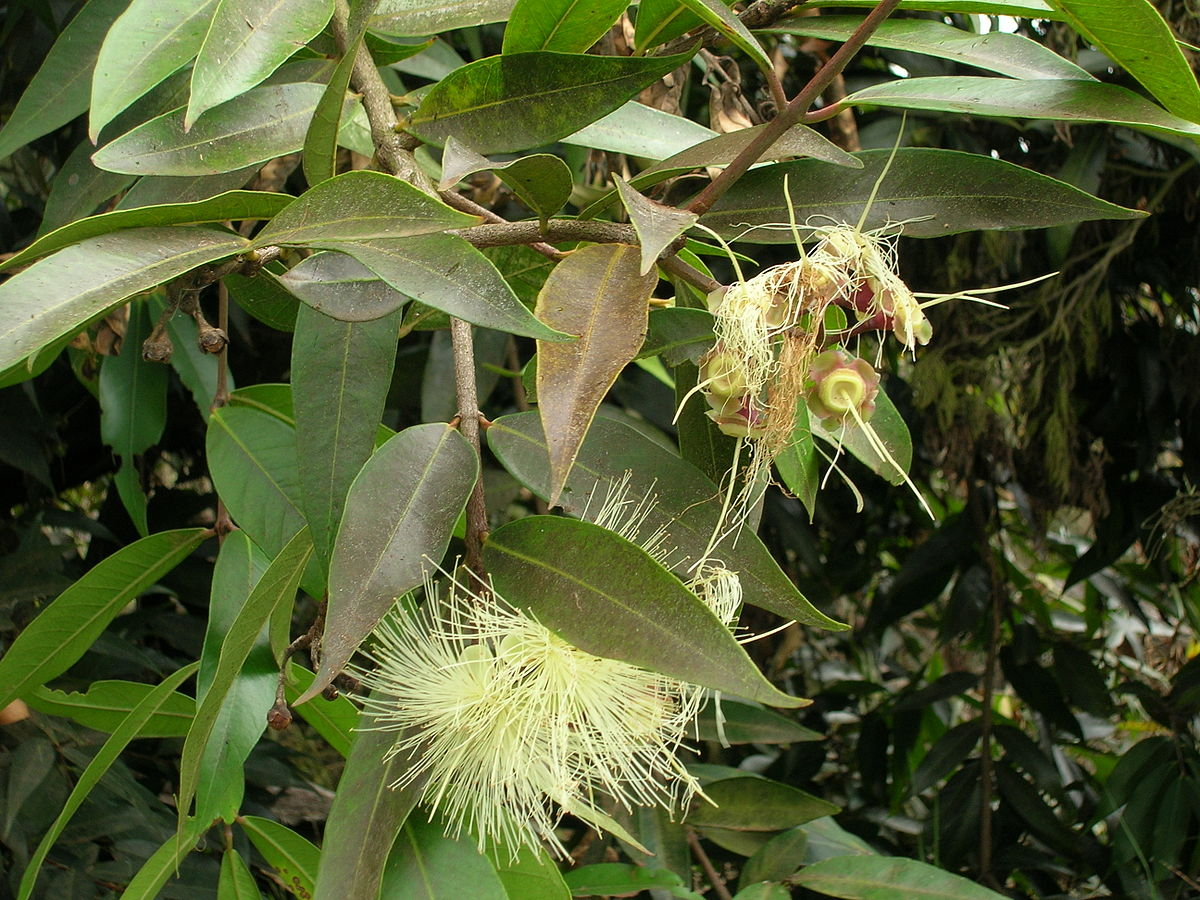 Resultado de imagen de Syzygium phillyreifolium
