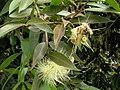 Starr 060916-8838 Syzygium jambos.jpg