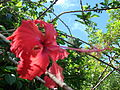 Starr 061109-1505 Hibiscus rosa-sinensis.jpg