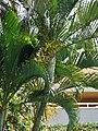 Starr 070124-3870 Chrysalidocarpus lutescens.jpg