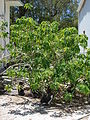 Starr 080604-6134 Euphorbia pulcherrima.jpg