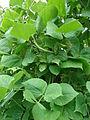 Starr 080610-8274 Psophocarpus tetragonolobus.jpg