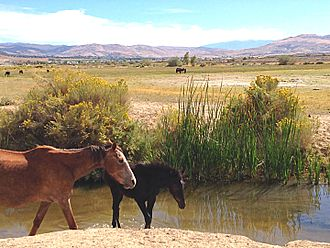 Reno, Nevada - Reno Nevada and the Truckee Meadows south west of the Reno Tahoe International Airport has a large herd of Mustang horses.  These horses nurse and range around the runoff of Steamboat Creek.  The Mustang is a notable iconic image of the Nevada range land which includes Reno.