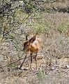 Steenbok (Raphicerus campestris) (32213751220).jpg