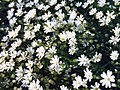Stellaria holostea 2.jpg
