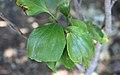 Stenocarpus trinervis RBG Sydney.jpg