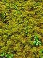 Step Moss (5037792227).jpg