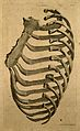 Sternum and right side of rib cage; seen from behind. Line e Wellcome V0007975.jpg