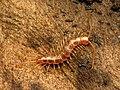 Stone Centipede (46833148704).jpg