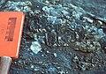Stromatoporoid1 Keyser Formation.jpg